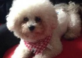寻狗启示,连云港东海县白色比熊狗狗跑丢了求好心人帮帮忙找到一定重金感谢,它是一只非常可爱的宠物狗狗,希望它早日回家,不要变成流浪狗。