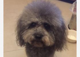 寻狗启示,12月13日下午在港口镇兴港南路星港湾花园后门走丢灰色贵宾一只,它是一只非常可爱的宠物狗狗,希望它早日回家,不要变成流浪狗。