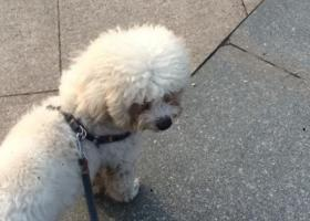 寻狗启示,下城区东兴路附近捡到白色泰迪一只,它是一只非常可爱的宠物狗狗,希望它早日回家,不要变成流浪狗。