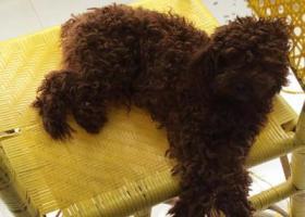 寻找丢失的棕色泰迪母狗狗