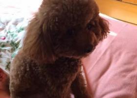 寻狗启示,泰迪狗狗走丢了,请广大亲人帮忙留意提供线索,重谢,它是一只非常可爱的宠物狗狗,希望它早日回家,不要变成流浪狗。