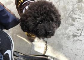 寻狗启示,大丰中医院捡到黑色泰迪一只,身穿衣服,它是一只非常可爱的宠物狗狗,希望它早日回家,不要变成流浪狗。