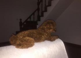 寻狗启示,棕色泰迪走失,请好心人帮忙留意!,它是一只非常可爱的宠物狗狗,希望它早日回家,不要变成流浪狗。