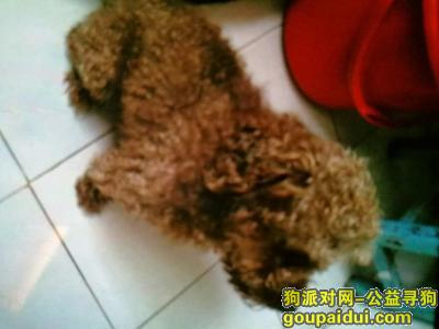 ,山东日照走失泰迪一只,它是一只非常可爱的宠物狗狗,希望它早日回家,不要变成流浪狗。