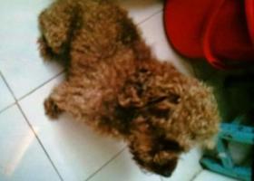 寻狗启示,山东日照走失泰迪一只,它是一只非常可爱的宠物狗狗,希望它早日回家,不要变成流浪狗。