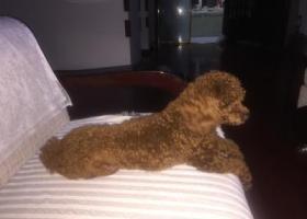 寻狗启示,红棕色泰迪走失,妈妈急性应激障碍,跪求好心人提供线索!,它是一只非常可爱的宠物狗狗,希望它早日回家,不要变成流浪狗。