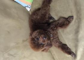 寻狗启示,寻爱犬 泰迪 lucky,它是一只非常可爱的宠物狗狗,希望它早日回家,不要变成流浪狗。