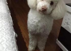 寻狗启示,徐州白色标准贵宾男狗,红鼻头很特别,叫呆萌demon!,它是一只非常可爱的宠物狗狗,希望它早日回家,不要变成流浪狗。