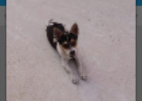 寻狗启示,我家狗狗丢了,很着急希望好心人见到的话给我说下,它是一只非常可爱的宠物狗狗,希望它早日回家,不要变成流浪狗。