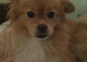 上海徐汇找爱犬太子,博美,8岁,雄性,黄色