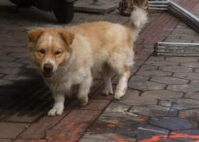 寻狗启示,在岐乐花园三期有一只走来走去的短腿狗,是谁的?,它是一只非常可爱的宠物狗狗,希望它早日回家,不要变成流浪狗。