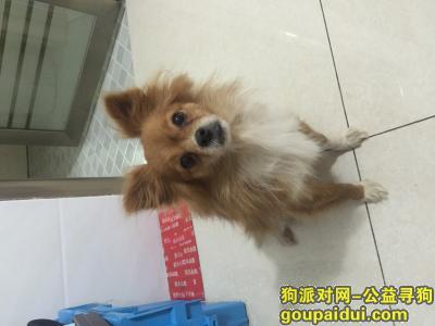 义乌寻狗主人,在柳青寻找自己丢失的狗狗时捡到的,它是一只非常可爱的宠物狗狗,希望它早日回家,不要变成流浪狗。