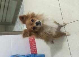 寻狗启示,在柳青寻找自己丢失的狗狗时捡到的,它是一只非常可爱的宠物狗狗,希望它早日回家,不要变成流浪狗。