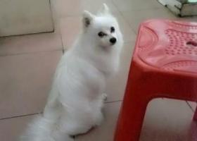 寻狗启示,星仔,期待你早日回家!!!,它是一只非常可爱的宠物狗狗,希望它早日回家,不要变成流浪狗。