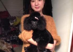 全黑泰迪狗丢失。希望好心人送还