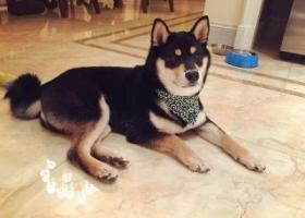 九亭镇涞坊路颐亭花园小区酬谢一万元寻找黑色柴犬