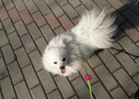 寻狗启示,铥铥急疯了 土豆回家吧,它是一只非常可爱的宠物狗狗,希望它早日回家,不要变成流浪狗。