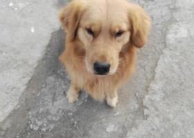 寻狗启示,12月26日公司门卫捡到一只金毛,它是一只非常可爱的宠物狗狗,希望它早日回家,不要变成流浪狗。