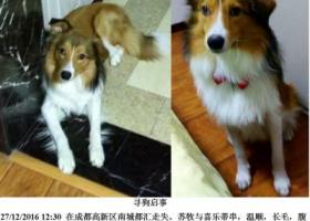苏牧串 腹白,背黄,1岁,36斤