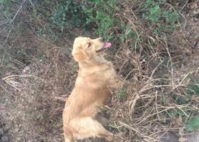 寻狗启示,寻12月25日在尖峰山丢了的金毛,它是一只非常可爱的宠物狗狗,希望它早日回家,不要变成流浪狗。