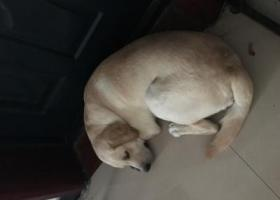 寻狗启示,山西运城拉布拉多公一岁半,北郊丢失重金寻狗,它是一只非常可爱的宠物狗狗,希望它早日回家,不要变成流浪狗。