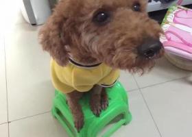 寻狗启示,28日在下王三区附近丢失一条棕色泰迪,它是一只非常可爱的宠物狗狗,希望它早日回家,不要变成流浪狗。