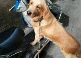 寻狗启示,捡了一条金毛犬,成年,它是一只非常可爱的宠物狗狗,希望它早日回家,不要变成流浪狗。