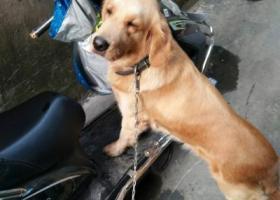 寻狗启示,捡了一条成年金毛犬。,它是一只非常可爱的宠物狗狗,希望它早日回家,不要变成流浪狗。