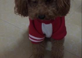12/30晚广州市白云区新市花园附近走丢一条泰迪犬,有看到的好心人请联系