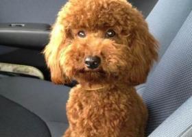 相城区 钟爱宠物店中市路朱建英小店斜对面 门口走失的 泰迪贵宾犬(跳跳)。
