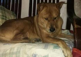 一條黃色13年老狗走失
