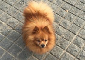 急寻黄色博美公狗于12月31日晚南京南湖公园走失,5000元起酬谢