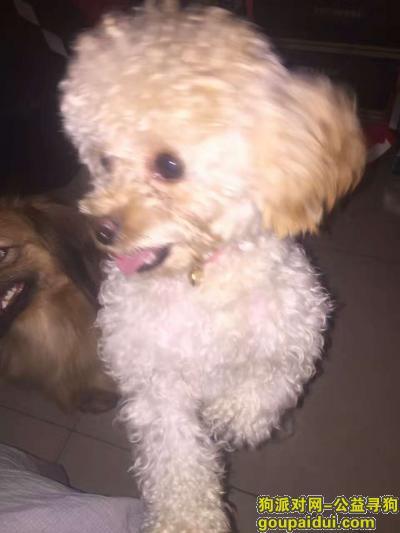 驻马店寻狗,寻找丢失狗狗,颜色白色发黄。眼下有红色泪痕。,它是一只非常可爱的宠物狗狗,希望它早日回家,不要变成流浪狗。