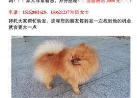 寻狗启示,徐州寻找黄色球形博美胖胖,它是一只非常可爱的宠物狗狗,希望它早日回家,不要变成流浪狗。