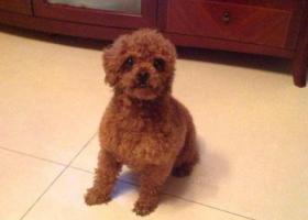寻狗启示,两岁泰迪走失,只有一只耳朵,它是一只非常可爱的宠物狗狗,希望它早日回家,不要变成流浪狗。