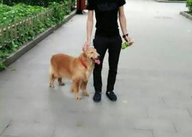 寻狗启示,寻找金毛犬母狗,于1月1号在金平区乌桥附近走失,它是一只非常可爱的宠物狗狗,希望它早日回家,不要变成流浪狗。