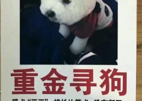 寻狗启示,重金寻找失踪白色公的比熊犬,它是一只非常可爱的宠物狗狗,希望它早日回家,不要变成流浪狗。