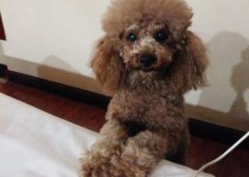 寻狗启示,寻狗启示1月2日晚岳阳步行街附近丢失一条泰迪狗,它是一只非常可爱的宠物狗狗,希望它早日回家,不要变成流浪狗。
