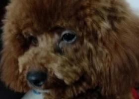 寻狗启示,于1月3日早上10点左右在三中对面汽车八队公,七个月名豆豆,它是一只非常可爱的宠物狗狗,希望它早日回家,不要变成流浪狗。