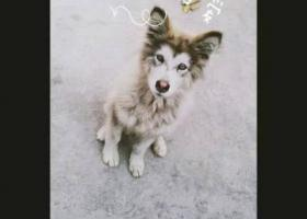 寻狗启示,临汾市尧都区刘村镇北段村于2017.01.05日丢失阿拉斯加犬一只,它是一只非常可爱的宠物狗狗,希望它早日回家,不要变成流浪狗。