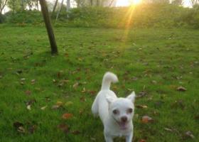 寻狗启示,寻白色吉娃娃,丢失于大渡口区半岛逸景公租房周围,它是一只非常可爱的宠物狗狗,希望它早日回家,不要变成流浪狗。