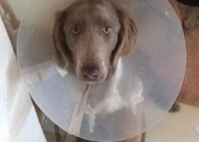 寻狗启示,威玛金毛混血 1岁左右 女孩,它是一只非常可爱的宠物狗狗,希望它早日回家,不要变成流浪狗。
