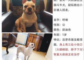 上海闵行区都市路向阳路天籁园酬谢2万元寻斗牛犬