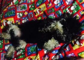 寻狗启示,帮忙找找我家小泰迪!,它是一只非常可爱的宠物狗狗,希望它早日回家,不要变成流浪狗。