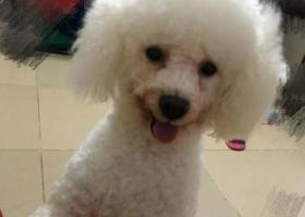 寻狗启示,寻白色比熊犬    重谢,它是一只非常可爱的宠物狗狗,希望它早日回家,不要变成流浪狗。