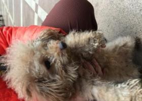 寻狗启示,东莞石龙捡到女贵宾犬,它是一只非常可爱的宠物狗狗,希望它早日回家,不要变成流浪狗。