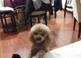 寻狗启示,寻找岳阳市丢失的一条泰迪,它是一只非常可爱的宠物狗狗,希望它早日回家,不要变成流浪狗。