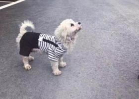 捡到一只穿着条纹背带裤白色小狗