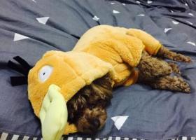 寻狗启示,福田五区 丢失一只 棕色泰迪 公狗,它是一只非常可爱的宠物狗狗,希望它早日回家,不要变成流浪狗。