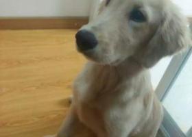 寻狗启示,寻狗启示 金毛犬 帅帅,它是一只非常可爱的宠物狗狗,希望它早日回家,不要变成流浪狗。